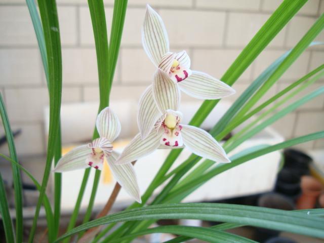 宽叶荷型莲瓣w-10图片