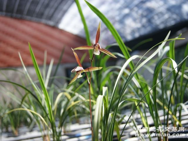 武夷山下山寒兰,细叶,色彩非常漂亮,春兰叶材,实物看照片.图片