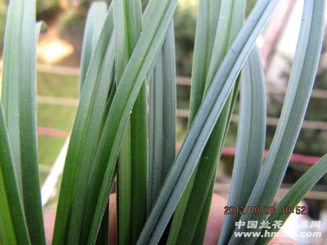 壮苗多朵蝶【阳台自然土种】 - 中国兰花交易网