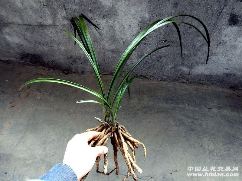 蕙兰--【精品荷瓣苞 大棵木纹草】图片