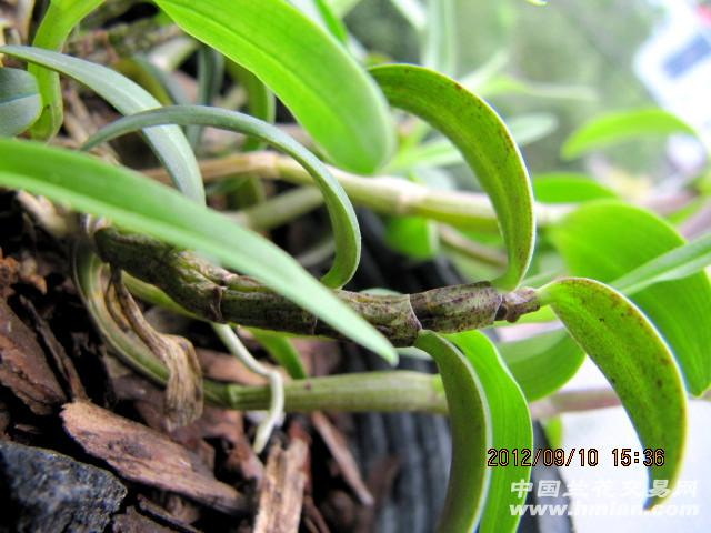 铁皮石斛--13 - 中国兰花交易网