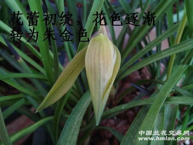 香豆瓣朱金红花,-庆国庆,免邮惠拍 香朱金红花