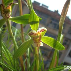 0起拍香豆瓣兰 新种蝶花 笑蝶 一盆2苗带花