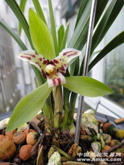 拍品是一个春兰的新种三星蝶,子母苗,带一大芽4片叶,带叶蝶,已经开花!图片